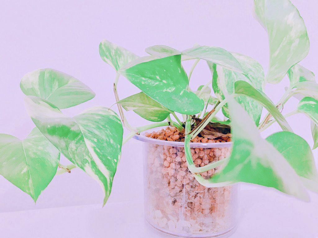 観葉植物をハイドロカルチャーで始めてみて